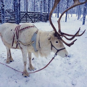 One of Father Christmas' reindeer up in Lapland the North Pole!