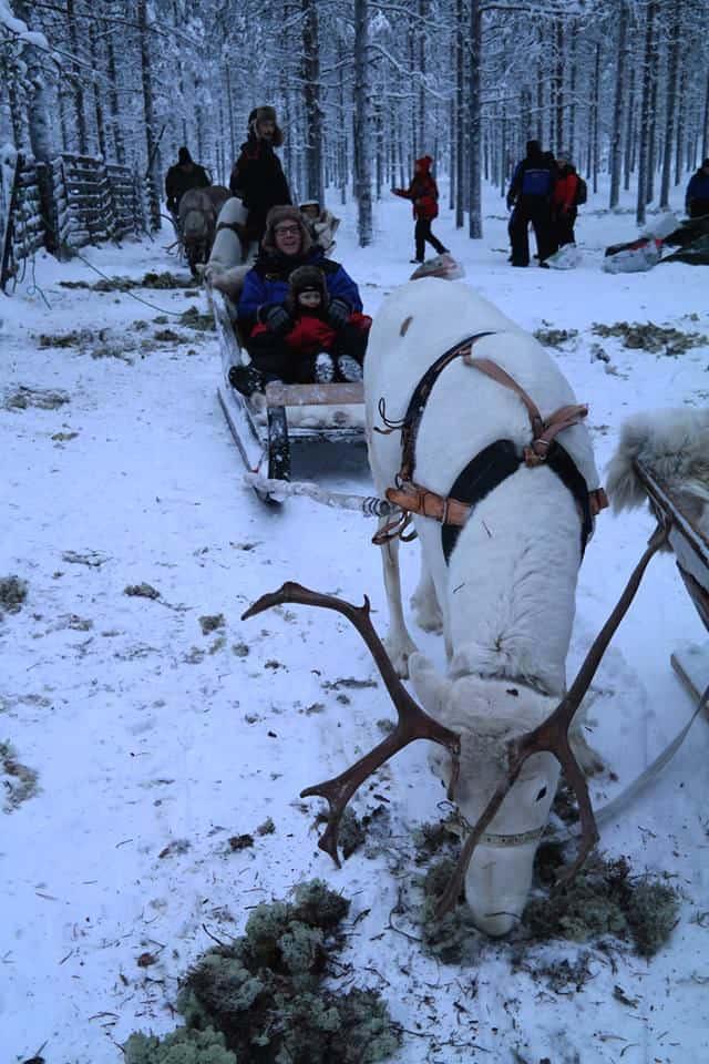 debbie lapland sledge with reindeer